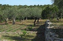 srg olives